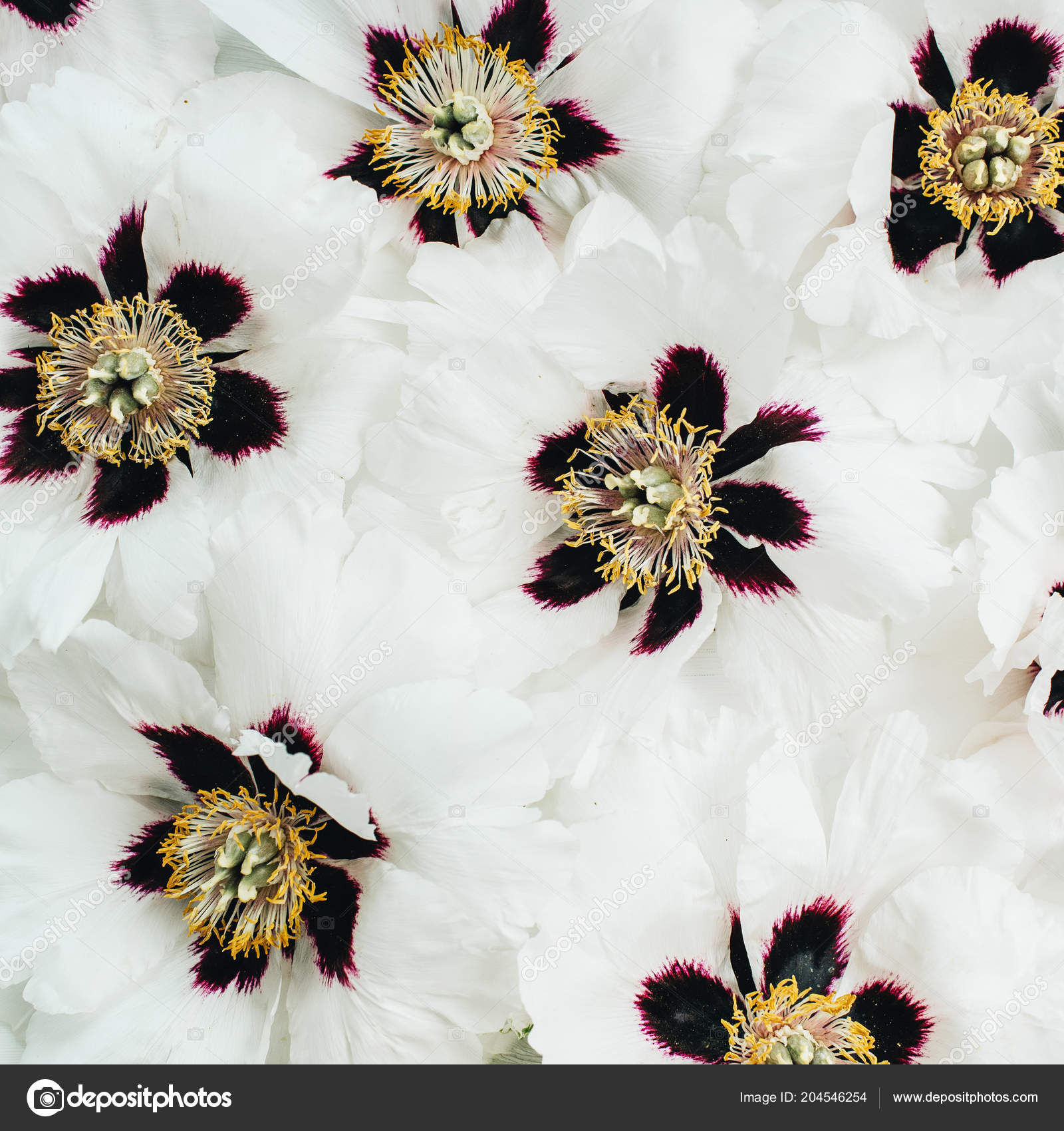 White Peonies Flowers Texture Flat Lay Top View Stock Photo