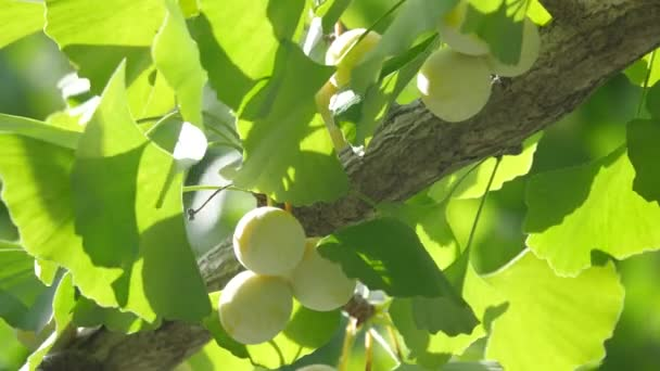 Tokyo,Japan-August 15,2018: Ginkgo nuts have become light yellow.  One month will be necessary to be fully-ripened.