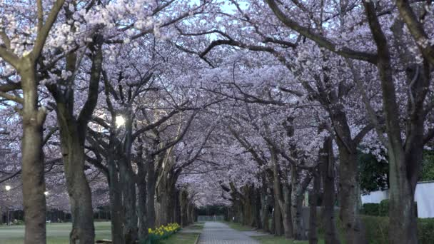 Tokyo,Japan-March 30, 2019: Morning scene of Cherry blossoms arcade with twitter of birds in a park in Tokyo