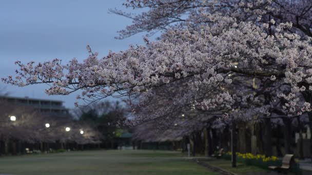 Tokio, Japonsko-Březen 30, 2019: Ranní scéna Třešňové květy pasáže s cvrlikání ptáků v parku v Tokiu