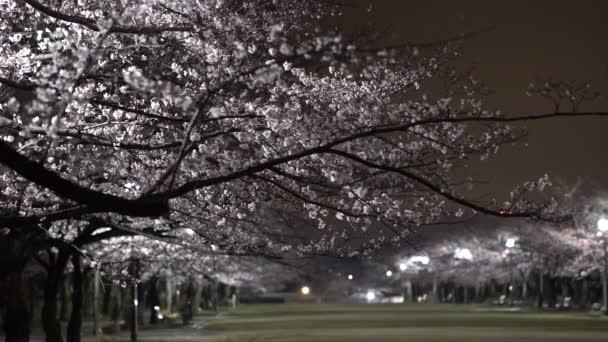 Tokio, Japonsko-Březen 30, 2019: Ranní scéna třešňových květů v parku v Tokiu