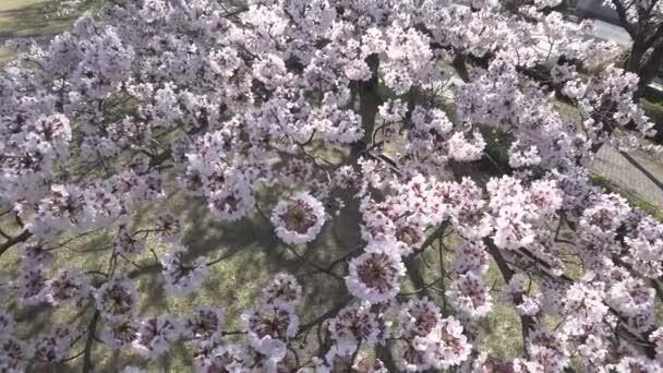 Tokyo, Japán-április 1, 2019: Vértes cseresznye virágok teljes virágzás, Tokióban egy parkban