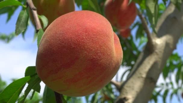Gunma,Japan-July 24, 2019: Fresh peach fruits on a tree