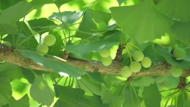 Tokyo,Japan-June 7, 2020: Very young Ginkgo nuts in early June. Its diameter is around 0.5 inches.