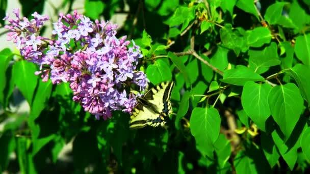 Motýl na flowe. Hnědý oranžový motýl na závod. Motýl shromažďuje nektar kvetoucí Podzimní květiny