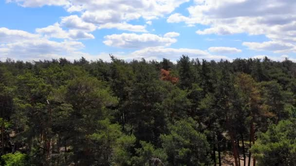 4K The flight of the camera over the pine forest. Slow smooth movement of the camera along the thick forests of the forest.