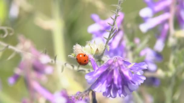 Ladybug crawling on the grass. A ladybird crawling along the grass searches for its prey to eat it