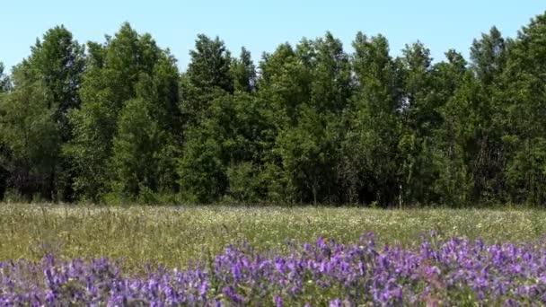 Luční květiny, jarní louka s květy. Ukrajinské stepi s mnoha fialové barevné kvetoucí květiny. Evropská planě. Krásné letní krajina
