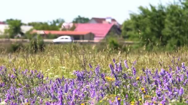 Vadvirágok, tavaszi rét virággal. Ukrán sztyepp sok lila színes virágzó virágok. Európai vadon élő növények. Szép nyári táj