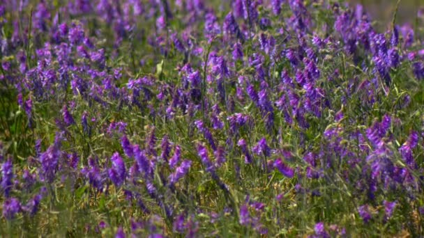 Wildflowers, Spring meadow with flowers. Ukrainian steppe with many purple colorful blooming flowers. European wild flora. Beautiful summer Landscape