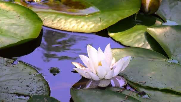 A tó a liliom virág. Víz liliom virág nyitási idő telik el. Halvány rózsaszín szirmok. Zárt bud virágot megnyitásához