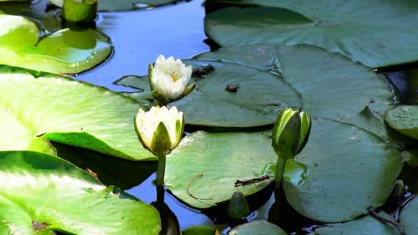 Květ lilie v rybníku. Water lily květina otevírací doba zaniká. Světle růžové okvětní lístky. Uzavřené bud samotných květin
