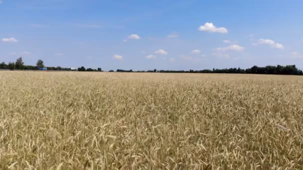 4K. Wavy movement of wheat ears. Low flight and take off over the wheat field, panoramic view from the air.