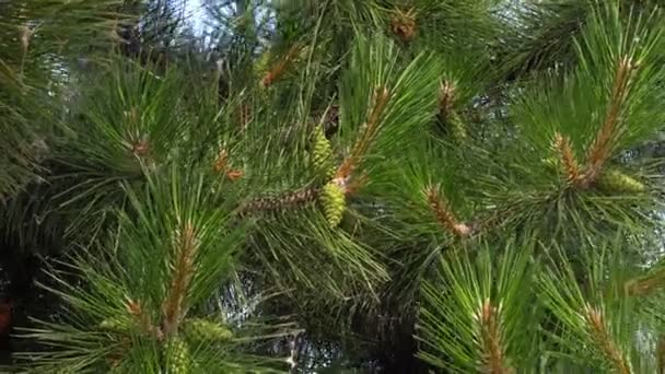 Needles of a pine tree. Needles of Pine Tree A green branch of a Christmas tree with sharp needles moving in the wind.
