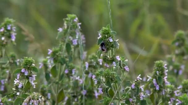 Čmelák na sbírá nektar čmelák shromažďuje nektar z růžové květy, pomalý pohyb