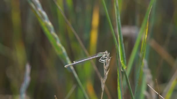 Dragonfly sitting on the grass Insect Familiar bluet Damselfly dragonfly sits on blade of grass in forest macro