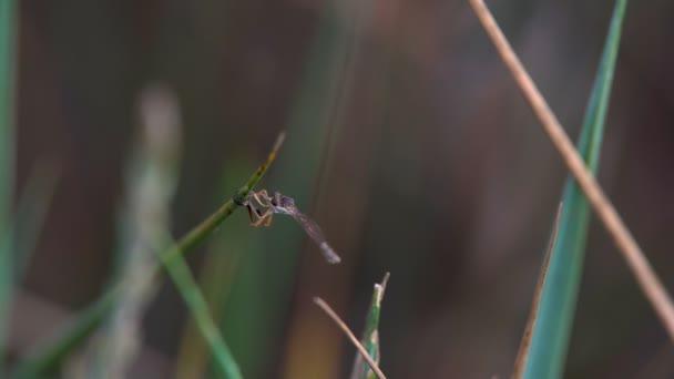 Szitakötő ül a fűben rovar ismerős bluet egyenlő szárnyú szitakötők szitakötő ül a fűszál, erdő makró
