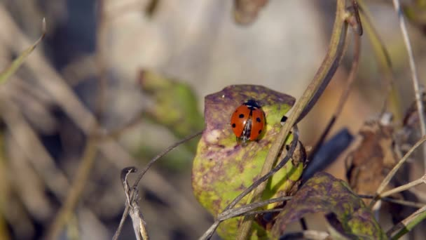 Beruška, plazících se po trávě hledá své kořisti jíst