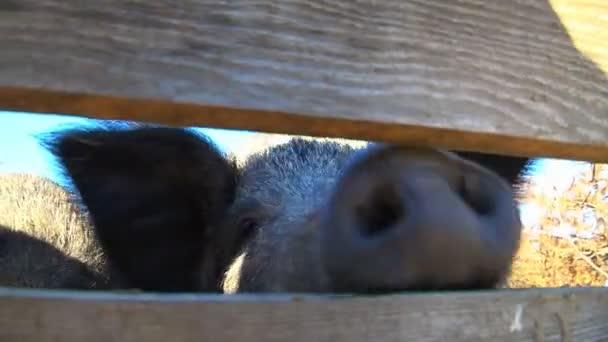 Černá prasata na farmě černá prasata jíst a boje v farma pastviny
