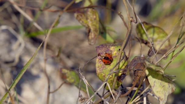 Katicabogár másznak a fűben egy katicabogár mászik végig a füvön megkeresi a préda, hogy megegyék