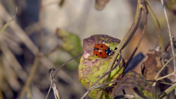 Coccinella che striscia sullerba una coccinella strisciando lungo lerba cerca la preda per mangiarla
