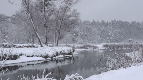 Zimní les pokrytý sněhem. V zimním odpoledni je hustý les. Velké množství sněhu na větvích stromů.