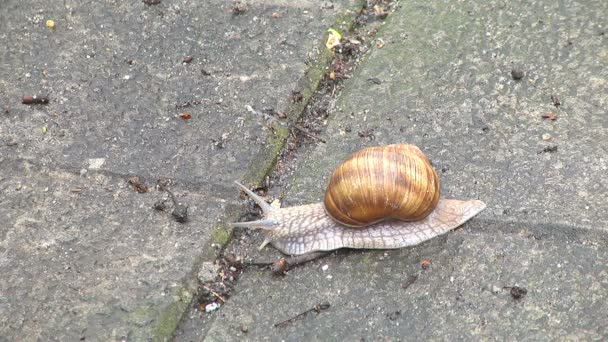 A large garden snail creeps in the park on a warm day in early spring