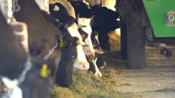 Cows feeding process on modern farm. Close up cow feeding on milk farm. Cow on dairy farm eating hay. Tractor driving in farm barn. Cowshed