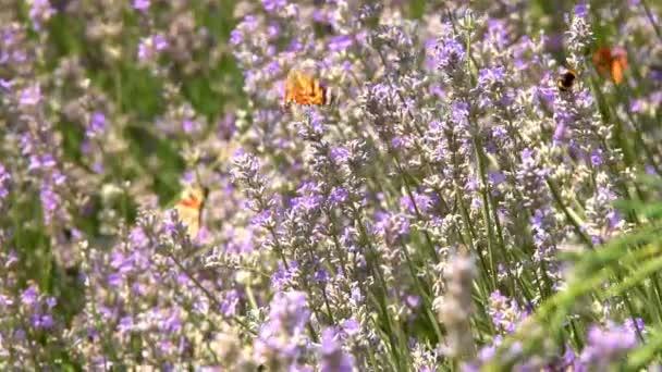 Pillangó repül lassítva. Felnőtt pillangók narancs, fekete szárnyak és repülni egy levendula virágot reggel. Ez a nyári szezon gyönyörű jellege.