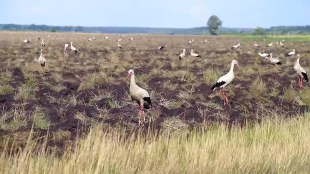Ein Schwarm Weißstörche flog auf ein bestelltes Feld, um Nahrung zu suchen. Störche suchen auf dem Land nach Nahrung. schöner Anblick.