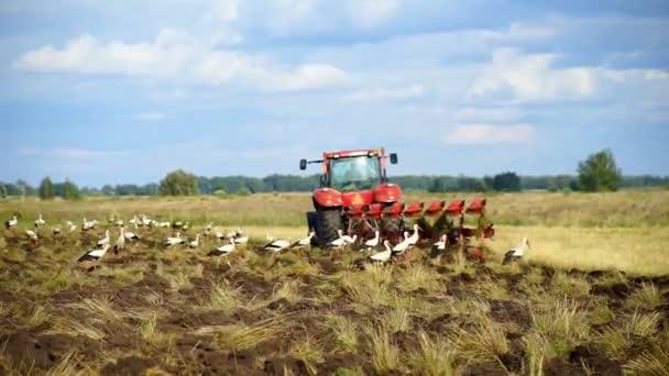 Traktor se rozzáří na zemi obklopenou bílými čápky hledaje jídlo na rozbouřené půdě. Farmář na traktoru připravuje půdu ve farmlandu. Zemědělský průmysl, pěstování pozemků