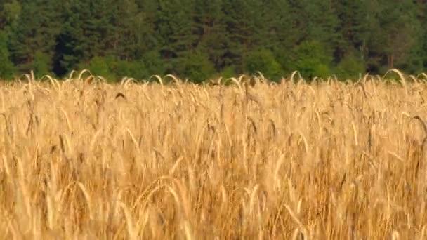 Nagy füle érett búza uralkodik a szél egy területen egy nyári napon. Mezőgazdaság-termesztő növények.