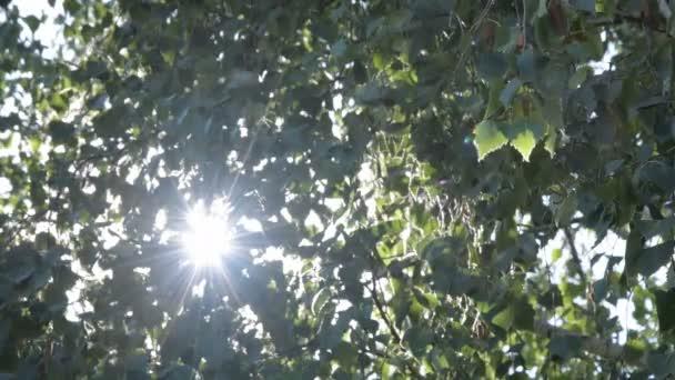 Természet napsütéses zöld háttér csillogó nap mögött ágak. Szerves hátteret napsugárzás és a napsugarak kipukkanását a levelek. Valós idejű 4k videofelvétel.