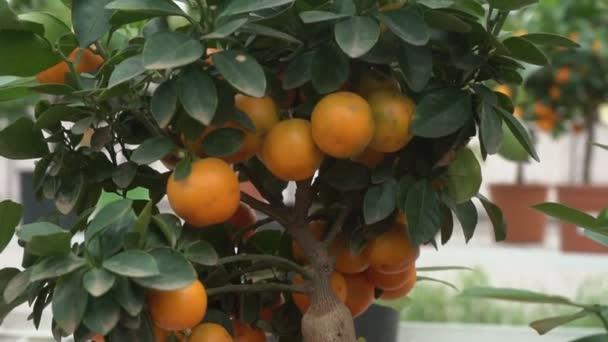 kleine Zitrusbäume, die in einem Gewächshaus wachsen und viele orangefarbene Zitrusfrüchte auf Zweigen zwischen grünen Blättern bewohnen, nennen es Yuzu Citrus.