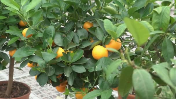 Small citrus trees grown in a greenhouse and inhabiting many orange citrus fruits on branches among green leaves call it Yuzu citrus.