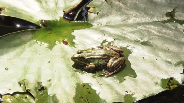Krötenfrosch sitzt auf einem Lilienblatt inmitten des klaren Wassers im Fluss eines Sommerwaldes an einem warmen, sonnigen Tag
