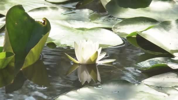 Virágzó liliomok a víz felszínén nagy virágok virágzó liliomok virágzik a tó között zöld levelek