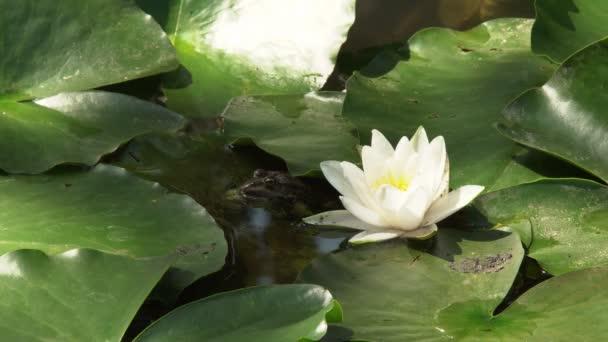 Kvetoucí lilie na hladině jezera mezi zelenými listy kvetou velké květiny kvetoucí lilie
