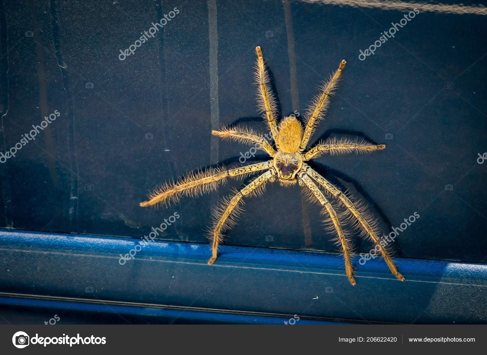 Huntsman Spider Sparassidae Car Australia — Stock Photo