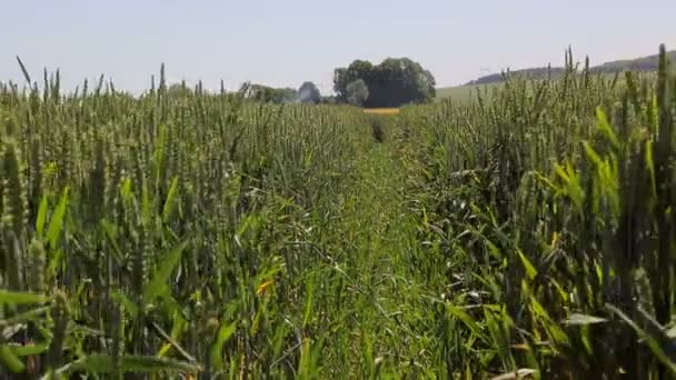 Background or texture. Stitch Seeds of wheat varieties. Green rye close-up. Ears swinging in the wind.
