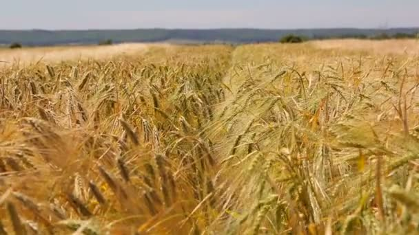 Background of rye ears that swaying in the wind. Golden ripe barley ears with soft focus. Ears swaying in the wind.