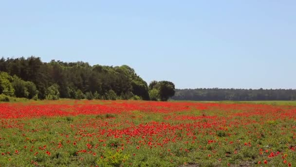 Huge field of blossoming poppies. Wild poppy field
