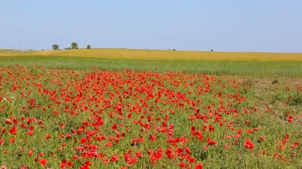 Huge field of blossoming poppies. Wild poppy field.