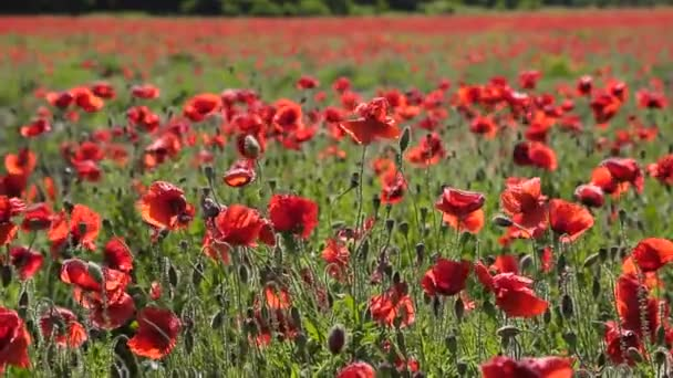 Huge field of blossoming poppies. Background