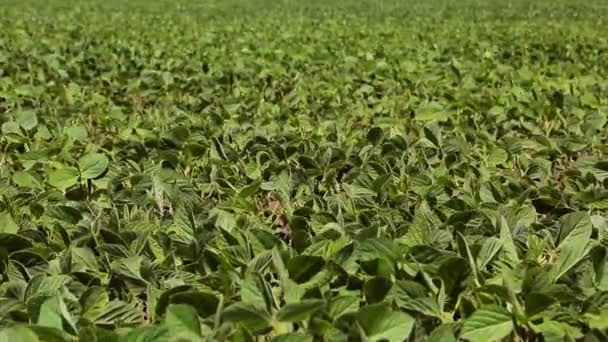Soybean Field Just sprouted soy in a field with green leaflets. Background