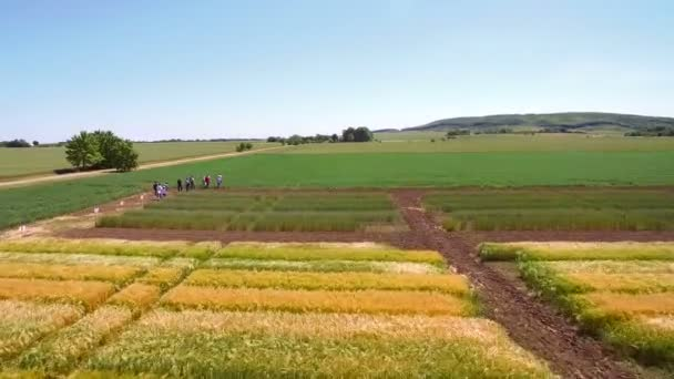 Aerial drone flying over the field with different varieties of wheat. Scientists are testing the effect of diseases on rye and wheat