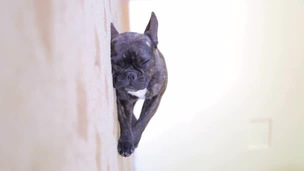Mopsz kutya fekete feküdt a szőnyeg a szobában, és az alvás.