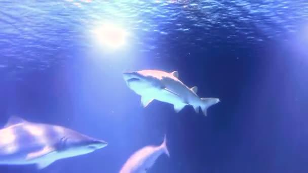 Der Hai schwimmt auf der Oberfläche des Wassers. Hai im flachen Wasser auf der Suche nach Nahrung. Farbige Pannen in der Wasser-Blendung im Rahmen