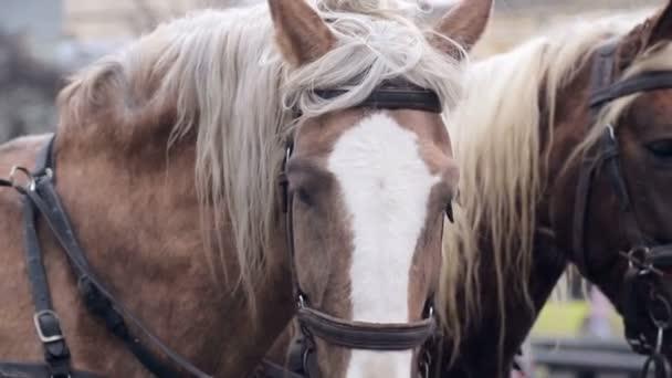 Két gyönyörű barna ló hasznosítani egy hám haladni vmerre a központ egy nagy város.