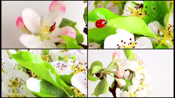 Katicabogár a virág körte forgó fehér alapon. Videóinak 360